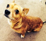 Local Chihuahua Needs New Home